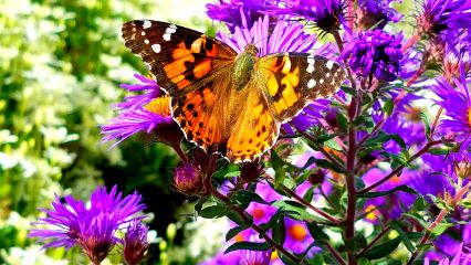 freetoedit butterfly beautiful colorful flowers