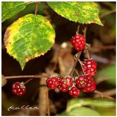 dpcfallfeels brombeeren berries autumn fall