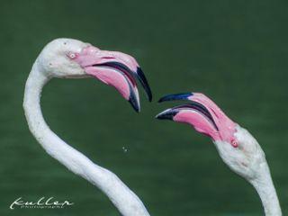 flamingos freetoedit tierpark germendorf zoo