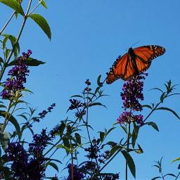 freetoedit butterfly orange butterflybush september2017