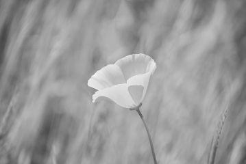 simplicity bnw blackandwhite flower love freetoedit