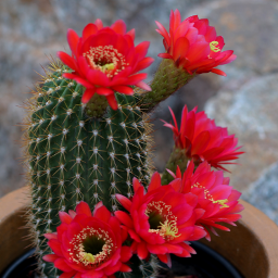 flower cactus redflowerd naturephoto
