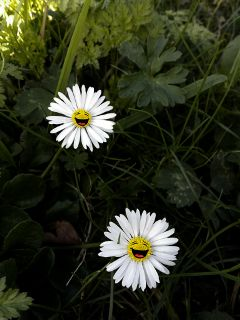 daisy flower stickers happiness emotions