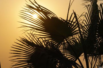 freetoedit palmtrees leaves silhouette background