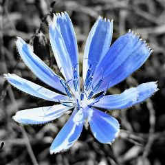 photography nature flower blackandwhite colorsplash freetoedit