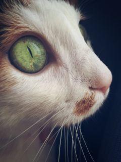 cat bigeyes eye fluffy cute freetoedit