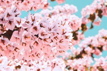 flowers blossom pink blue bluesky