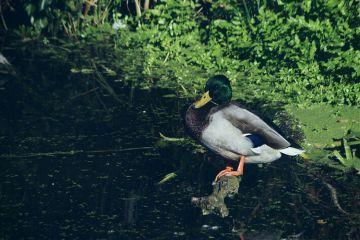 nature ducks birds closeup canal