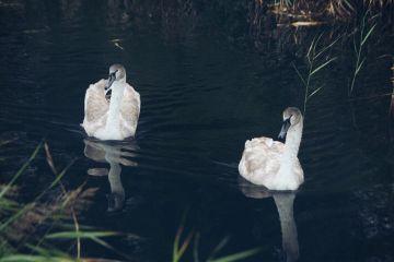 nature birds cygnets swans dodgereffect