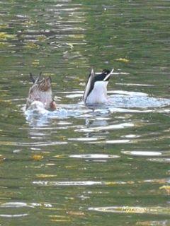 ducks diving pond water lake