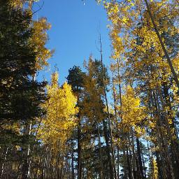 fallleaves hikingadventure aspens pinetrees autumnleaves