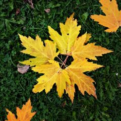 leaves autumn mapleleaves nature cellphonephotography freetoedit