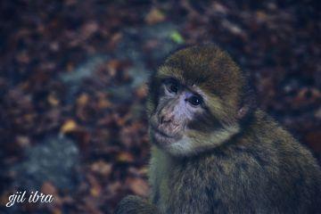 freetoedit vintage petsandanimals monkey sepia