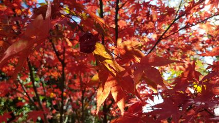 tree leaves redleaves plants nature