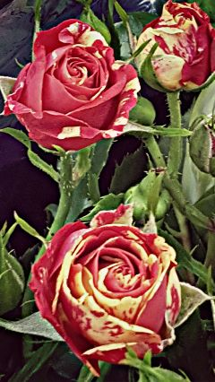 freetoedit the roses myphotography flowers