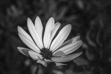 blackandwhite fragility petals flower hdrphotography