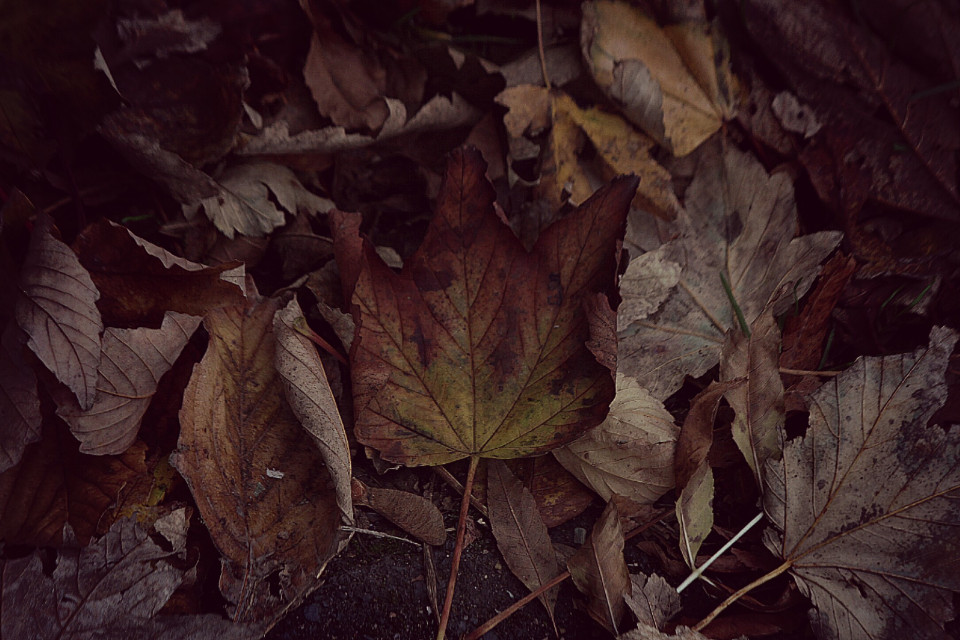 Autumn colours are just awesome #leaf #autumnisawesome #autumnvibes ##autumn#adjusttool #dodgereffect #outandabout