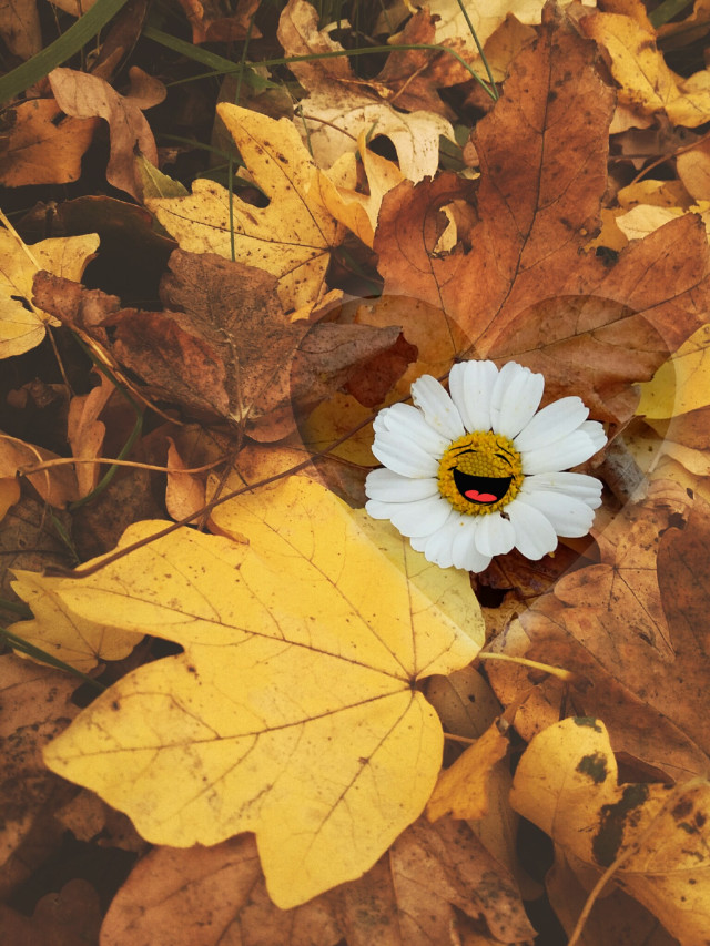 Have a Happy Sunday everyone #daisy #flower #nature #leafs #autumncolors #stickers #warmcolor #shapemask #happiness #outandabout #dramaeffect