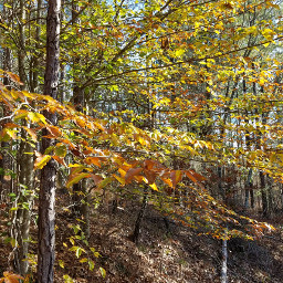 sycamore trees forest