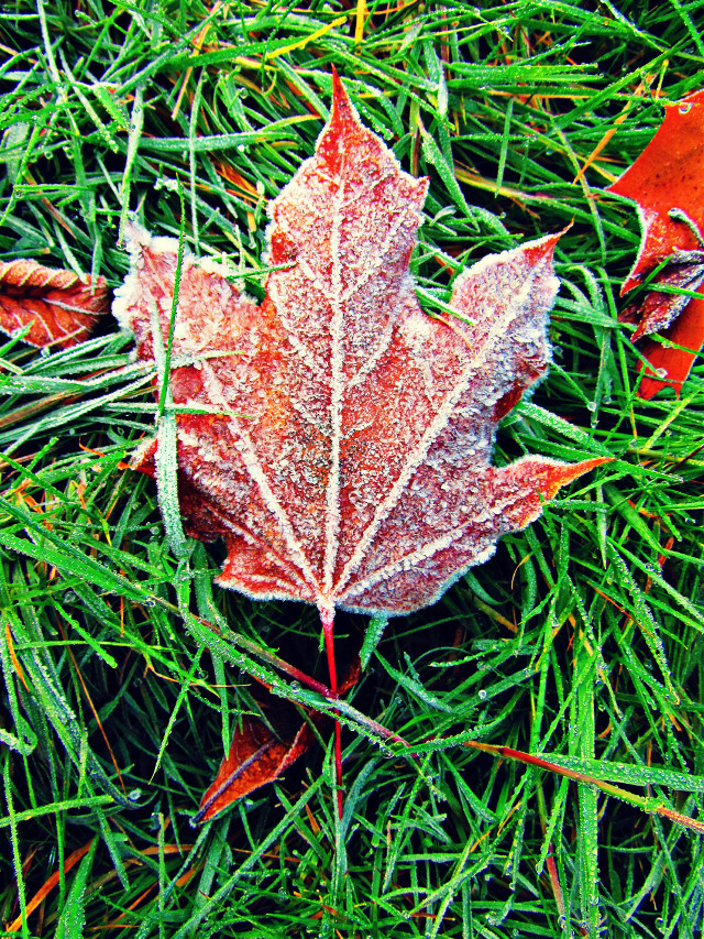 #frost #leaves #Autumn #fall #oregon #pnw