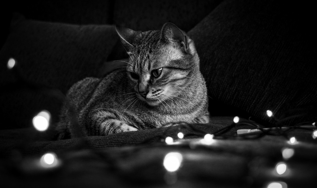 #petsandanimals #photography #blackandwhite #cat #christmas