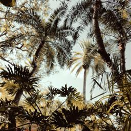 freetoedit palmtrees sunny plants