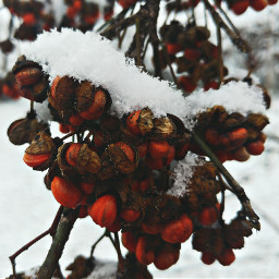photography plant nature berries snowman freetoedit