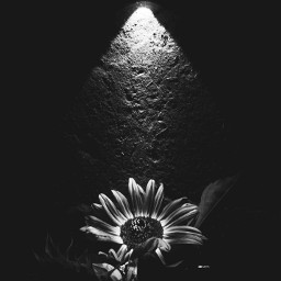 lightinthedark blackandwhitephotography flashlightphotography flower lightanddark