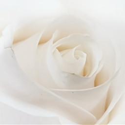 rose closeup photography photoshoot photooftheday