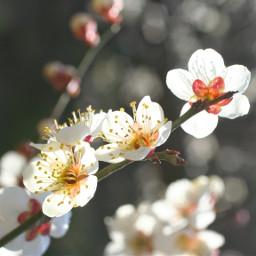 freetoedit plumblossom sunlight pcflowers flowers