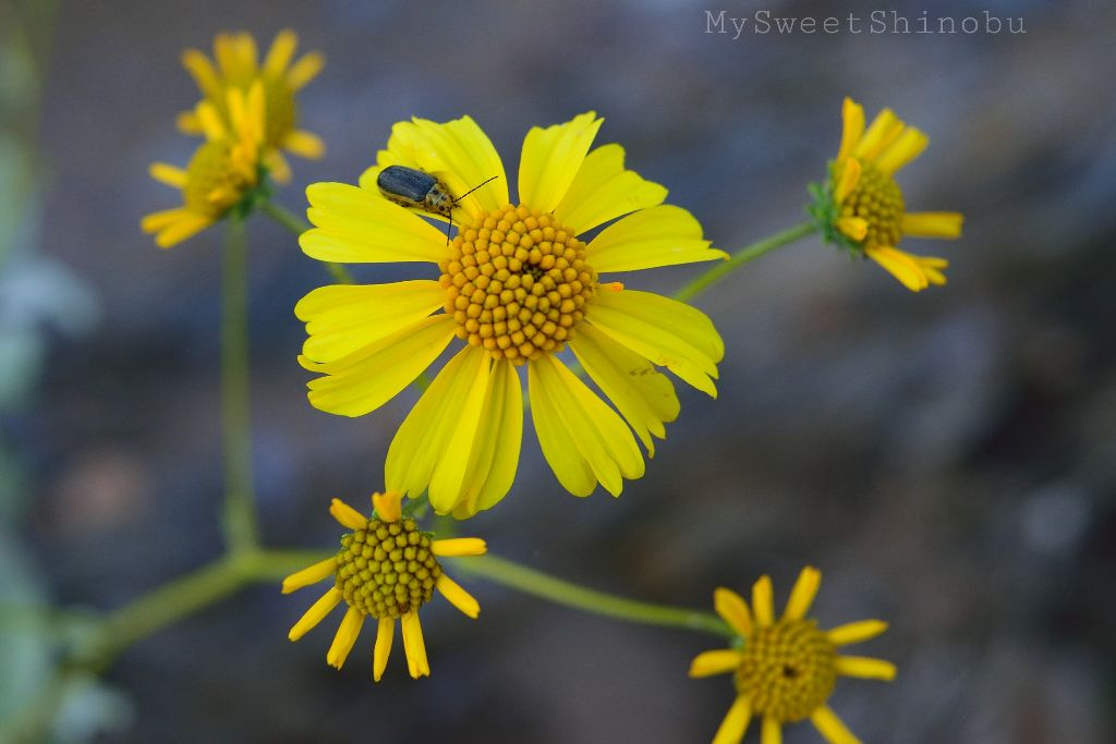 Desert Daisy Yellow Flowers Image By Shilo