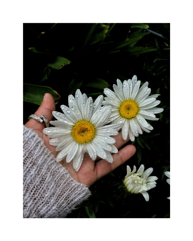 #pcbeautifulscenery #beautifulscenery #pchands #hands #pcdrops #drops #pcinmyhands #inmyhands #pcseeingdoubles #seeingdoubles #pcsweater #sweater #pcgoldenyellow #goldenyellow #pcphotooftheday #photooftheday #pcjewelry #jewelry #pccolorwhite #colorwhite #pcvalentinesday #valentinesday #flowerinhand
