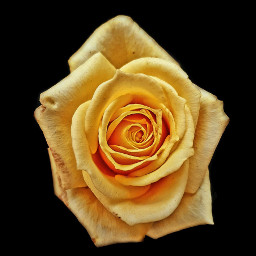 freetoedit photography edited yellow rose