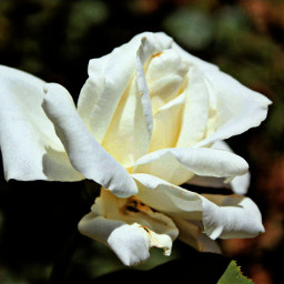 freetoedit photography white rose flower