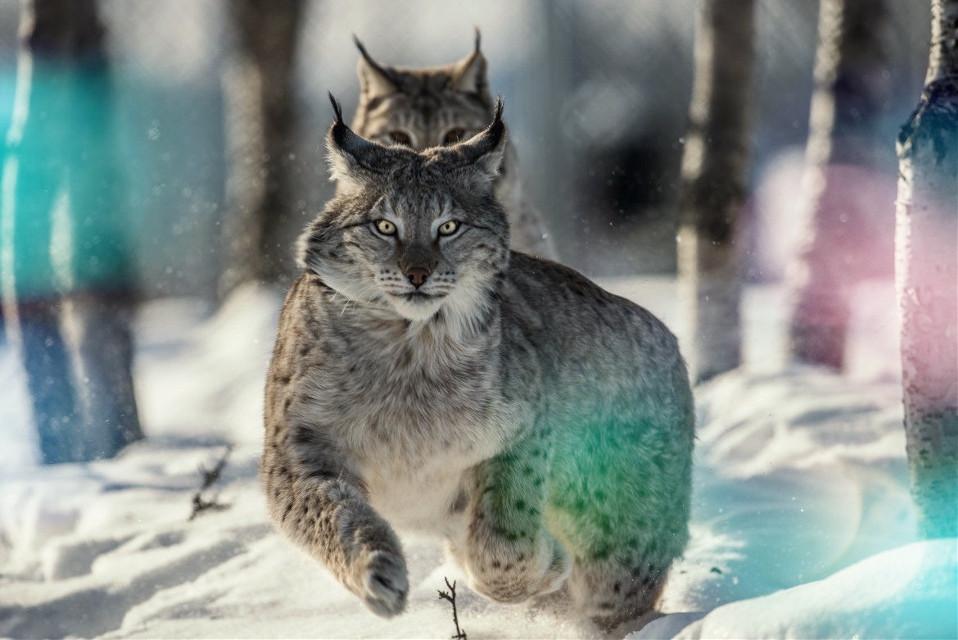Lynx   #lynx #lynxs #bigcats