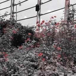 freetoedit blackandwhite flowers peddles color