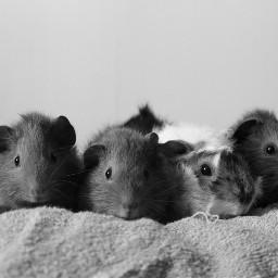 guineapig pets blackandwhite cute light