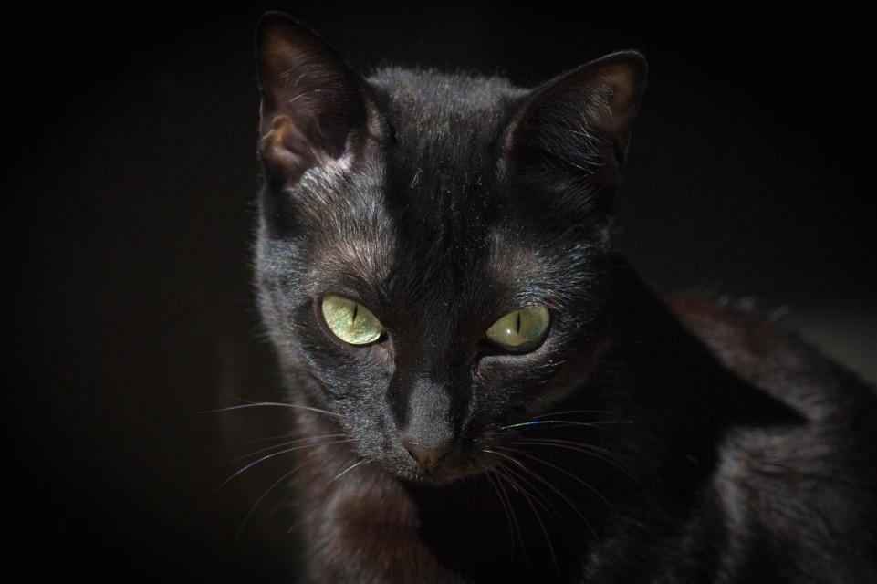 Thais #hdrphotography #cat #catlove #catsofpicsart #cateyes #pets & animals #feline #beautiful #blackcat