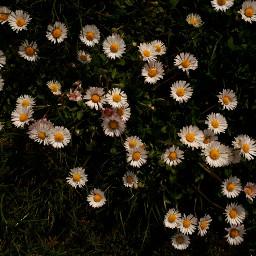 freetoedit spring naturephotography remixit remix springishere daisy whitedaisys pcflowersinthegarden