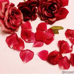 rose flower photography summer springflowers freetoedit