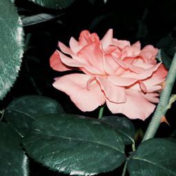 freetoedit rosado rosa pink rose