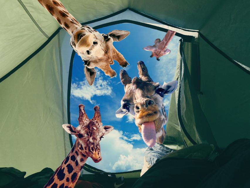 #freetoedit #giraffe #earthday #sky #tent #animal #funny #cute #remix #edit #myedit #head #hopeyoulikeit ☺️💙