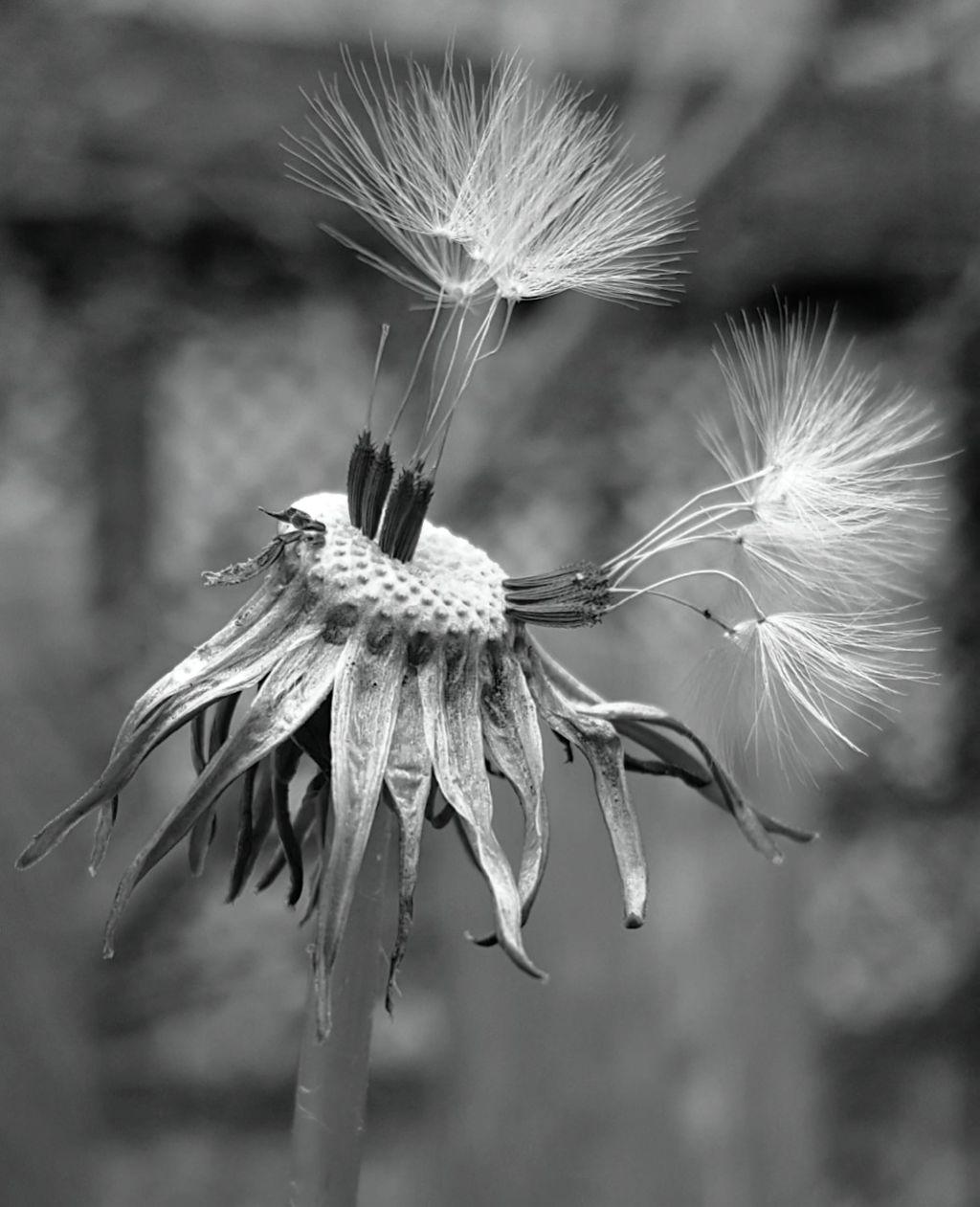 #freetoedit #mypic #today #dandelion #blackandwhite