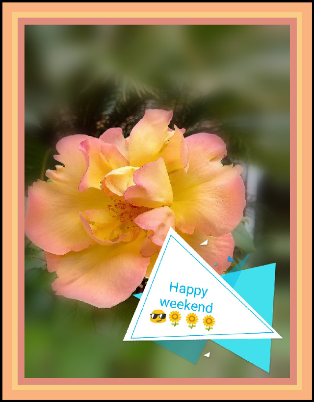 Happy weekend 🙋 🌻🌻🌻🌻🌻 #rose #mygardenflower #mygarden #spring #springday #springtime #naturephotography