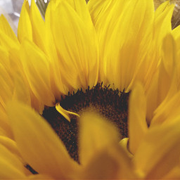freetoedit flowers peddles yellow myphotography