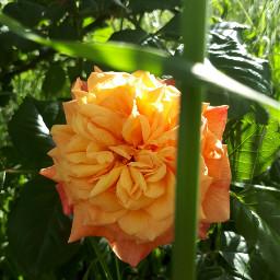 freetoedit nature naturelove rose yellowrose flower yellow photography picsart picoftheday follow followme spring pcyellow pcasingleitem