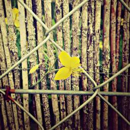 freetoedit flower yellow fences wood