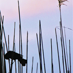 freetoedit silhouttes bird lake