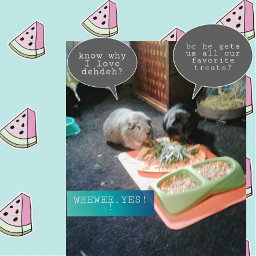 freetoedit guineapigs bestfriendsforever snackstime love
