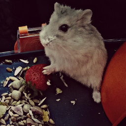 hamtaro fragole strawberry orsettorusso love_pet
